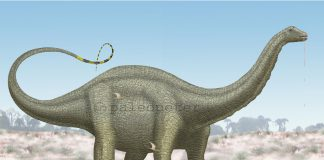 Apatosaurus by Peter Montgomery
