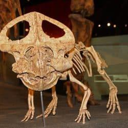 Protoceratops by Tiberius47