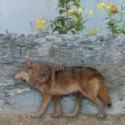 1015_dire wolf_sameerprehistorica