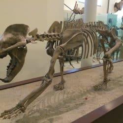 1030_amphicyon_tarbosaurusbatar