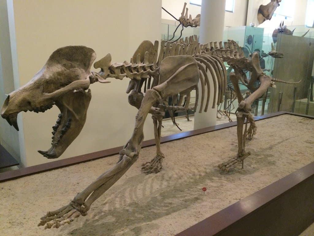 Amphicyon by TarbosaurusBatar