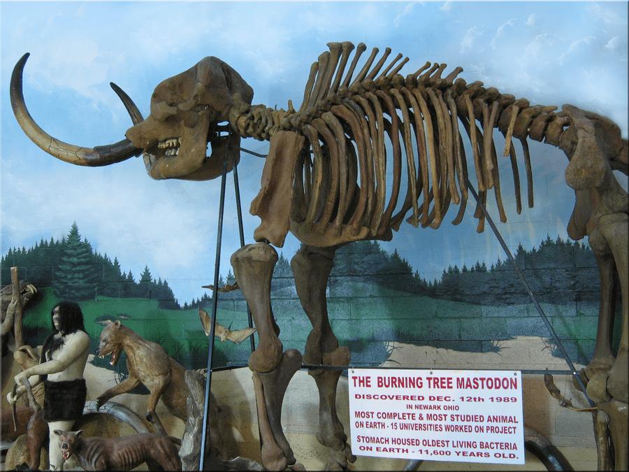 Mammut (Mastodon) by Phyllis