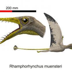 1567_rhamphorhynchus_peter_montgomery