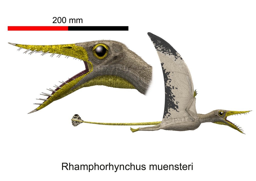Rhamphorhynchus by Peter Montgomery
