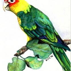 683_carolina parakeet_billy