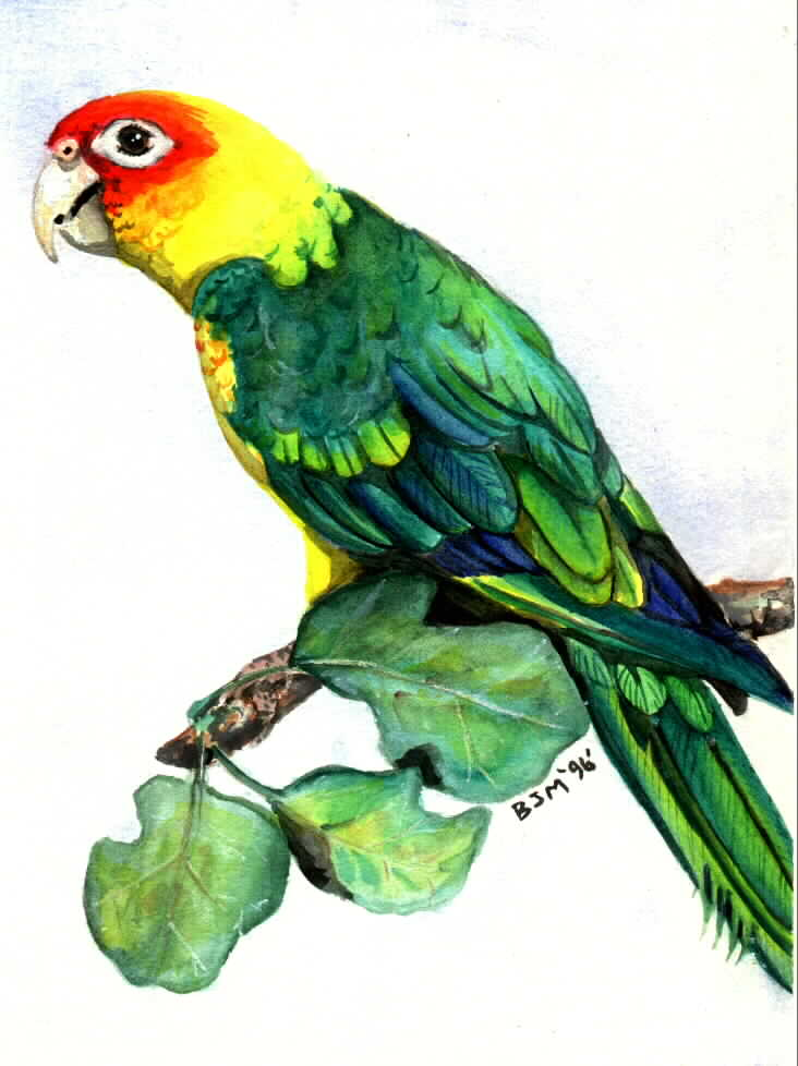 Carolina Parakeet by Billy