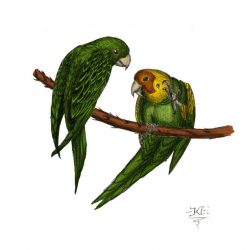 685_carolina parakeet_kevin_catalan