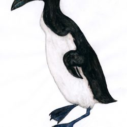 691_great auk_rafael_nascimento