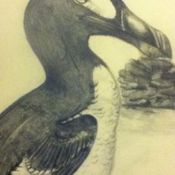 698_great auk_madeline