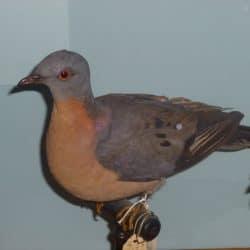 729_passenger pigeon_evan_bosse