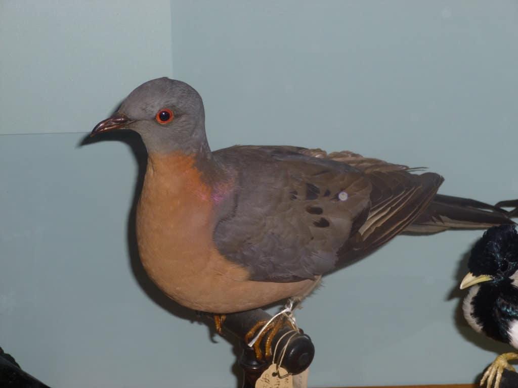 Passenger Pigeon by Evan Bosse