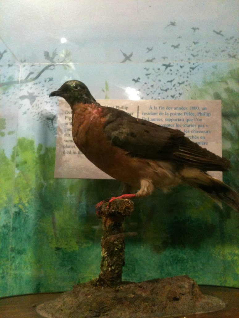 Passenger Pigeon by ringette-and-riding