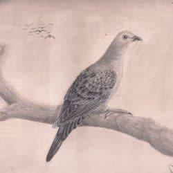 733_passenger pigeon_dana_ortega