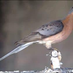 735_passenger pigeon_blackdragoneye100