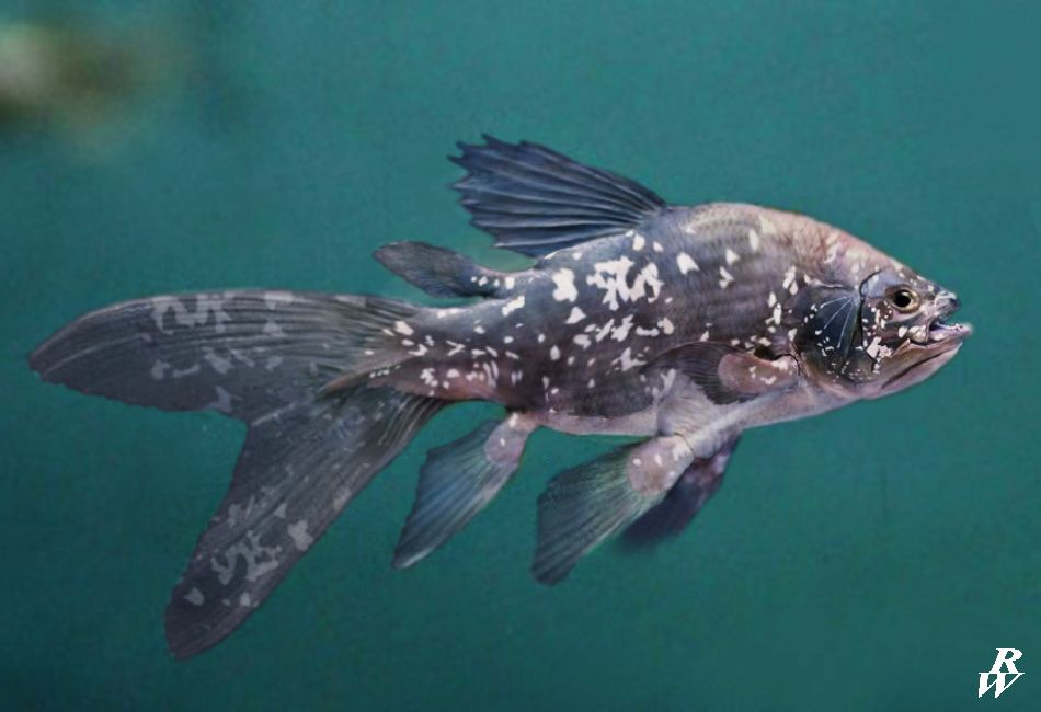 Coelacanth by Rob Westdorp
