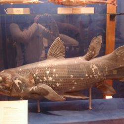 791_coelacanth_flyg-stock