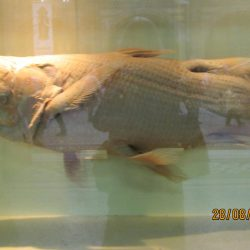 793_coelacanth_becky