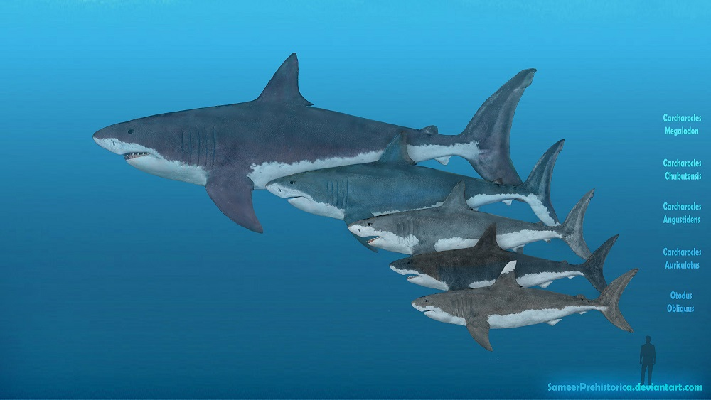Megalodon - Facts and Pictures