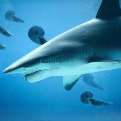 823_helicoprion_julio_lacerda