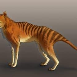862_tasmanian tiger_javamoos