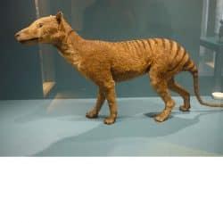863_tasmanian tiger_diardiwolf