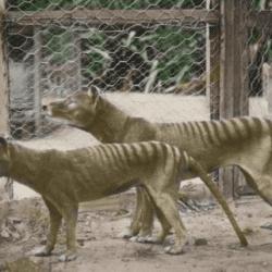 866_tasmanian tiger_matthew