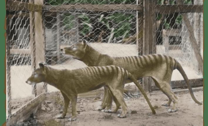 Tasmanian Tiger by Matthew