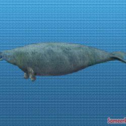 991_steller's sea cow_sameerprehistorica